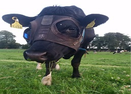 New Bovine Light Mask Set to Increase Milk Yields in Dairy Industry